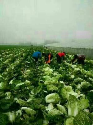 这是一张关于87-114白菜 6~10斤 净菜 诚信经营,货源充足。的产品图片