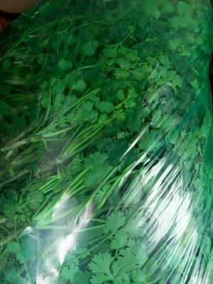 山东聊城铁杆青香菜 20~25cm