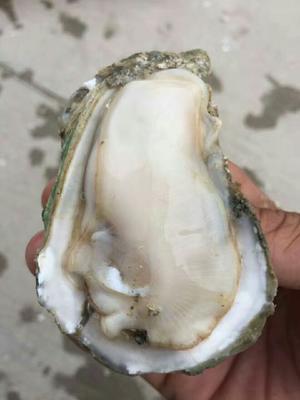 广东湛江湛江牡蛎 人工殖养 5-10只/公斤