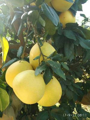 湖北宜昌蜜柚 2斤以上 白柚,红柚,