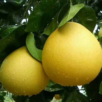 湖北宜昌蜜柚 2.5斤以上