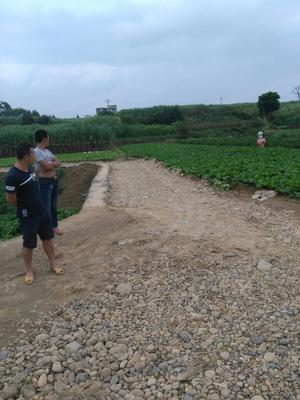 广西壮族自治区河池市罗城仫佬族自治县丰抗70白菜 2~3斤 净菜