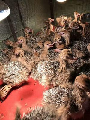 广东广州非洲鸵鸟苗