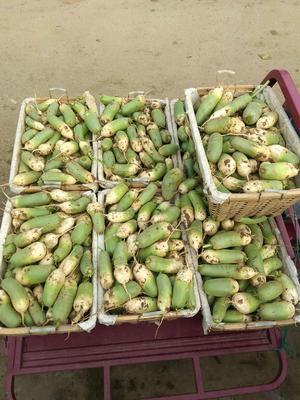 山东泰安青头萝卜 1~1.5斤