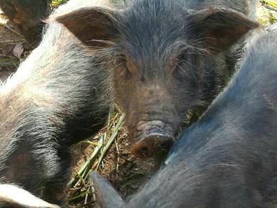 湖南永州藏香猪 20-40斤 香猪 藏香猪