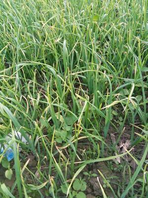 湖北荆门红根蒜苗 50 - 60cm