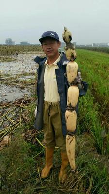 安徽阜阳3735莲藕 13-15cm 30~35cm
