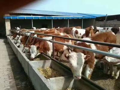 内蒙古呼伦贝尔西门塔尔牛 400-600斤 母牛