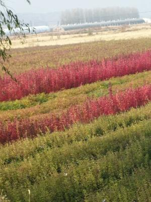 辽宁铁岭开原市紫丁香 2cm以下 4cm以下 0.5米以下