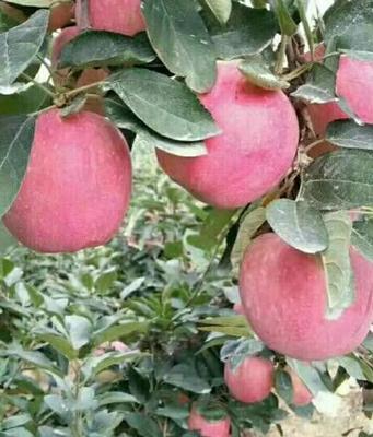 这是一张关于红富士苹果 75mm以上 纸袋 条红的产品图片