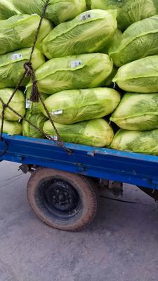 山西省晋中市榆次区秋绿60白菜 6~10斤 净菜