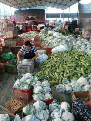 山东聊城绿扁豆 20cm以上 1cm以上