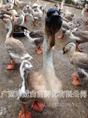 广西南宁狮头鹅苗 种鹅场供应  品种保证  纯种