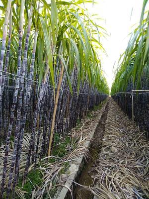 这是一张关于黑皮甘蔗 2 - 2.5m 5 - 6cm 甘蔗 黑皮果蔗的产品图片