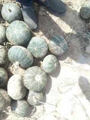 陕西省榆林市定边县贝贝南瓜 1~2斤 扁圆形