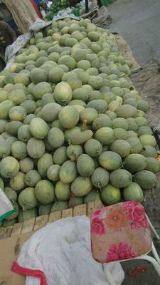 新疆乌鲁木齐西州密17号 3斤以上 西州密17号,个大脆甜糖份足,大量供应