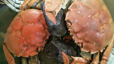 辽宁盘锦盘锦河蟹 2.0-2.5两 母蟹