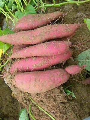 这是一张关于商薯19号 3两以上 红皮的产品图片