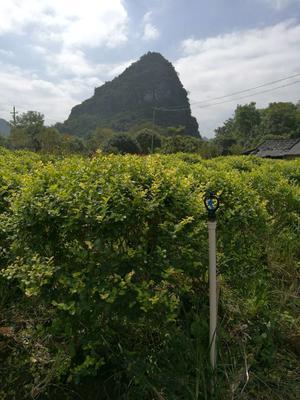 广西桂林绿梅