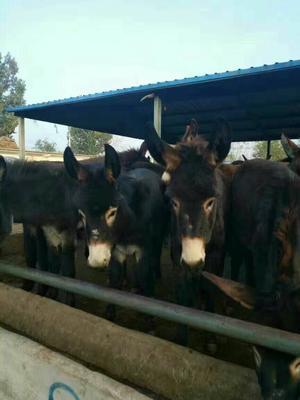山东泰安改良肉驴 100-200斤