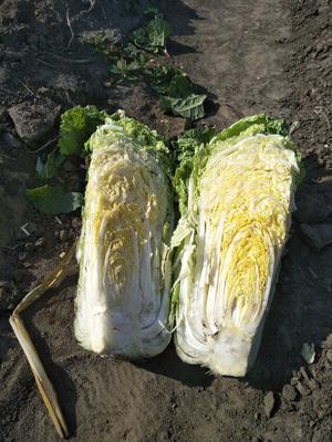 吉林省四平市公主岭市91-12白菜 6~10斤 二毛菜