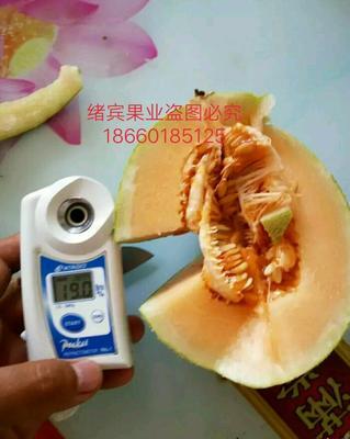 山东济南西州蜜瓜 3斤以上