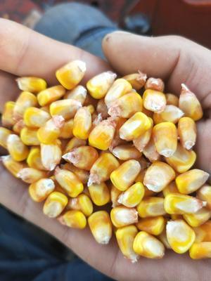 黑龙江齐齐哈尔玉米干粮 霉变≤2% 净货