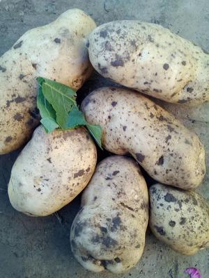 这是一张关于冀张薯12 2两以上的产品图片