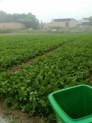 陕西省咸阳市泾阳县皇妃芹菜 55~60cm 露天种植 0.5斤以下