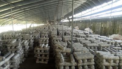 天津香菇菌棒 栽培种/三级种