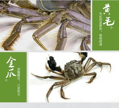 安徽芜湖阳澄湖大闸蟹 2.0-2.5两 母蟹