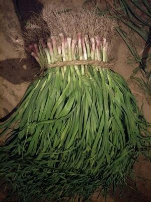 江苏盐城红根蒜苗 45 - 50cm