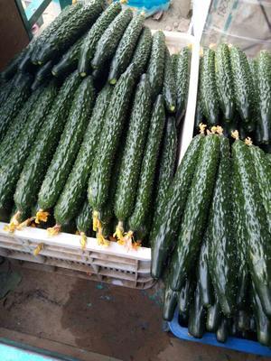 山东聊城黄瓜 18~22cm 干花带刺