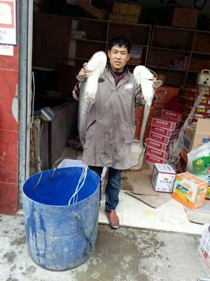 四川巴中大口鲶鱼 4-6公斤 野生