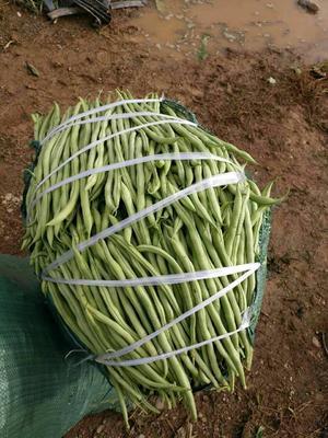 云南保山绿扁豆 20cm以上 1cm以上
