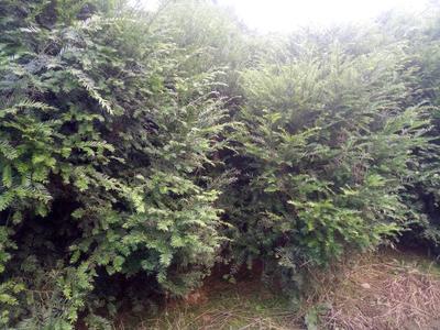 四川雅安南方红豆杉 2.5~3米
