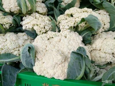 河南开封白面青梗松花菜 松散 2~3斤 乳白