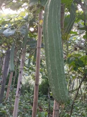 广西南宁棱丝瓜 30cm以上