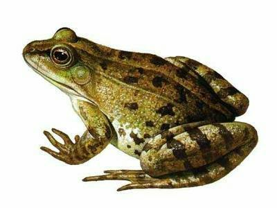 湖北潜江黑斑蛙