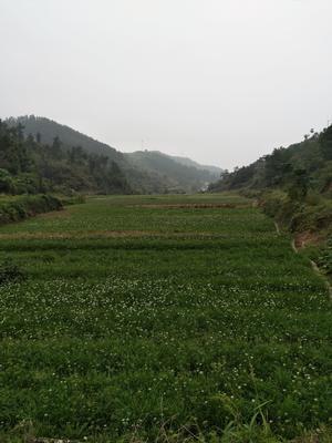 湖北省十堰市张湾区平韭6号韭菜 二茬 20~30cm