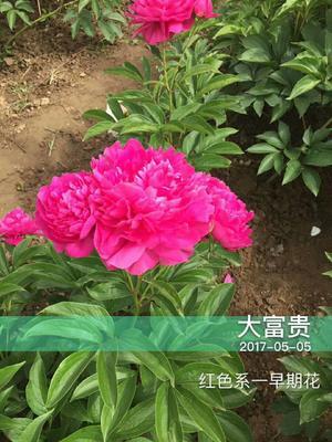 山东菏泽牡丹区芍药 0.5米以下 2cm以下