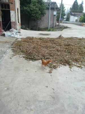 湖南岳阳华容县特种蛋 食用 散装
