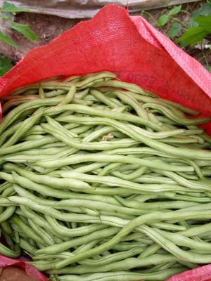 山东聊城扁青芸豆 20cm以上 2cm以上