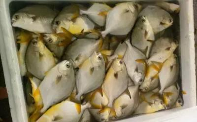 广东珠海金鲳鱼 人工养殖 1-1.5公斤