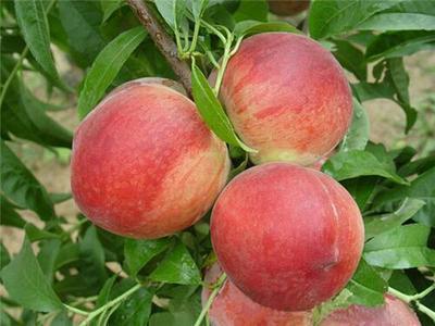秋彤桃树苗 1~1.5米