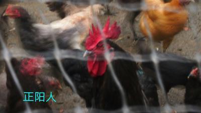 陕西安康虫草鸡 3-4斤 母
