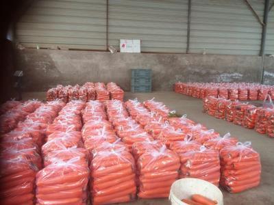 甘肃省定西市临洮县长红胡萝卜 15cm以上 3两以上 3~4cm