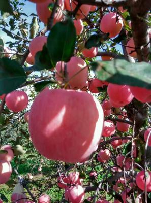 这是一张关于红富士苹果 纸袋 片红 80mm以上的产品图片