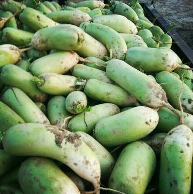 河南开封青皮萝卜 1.5~2斤