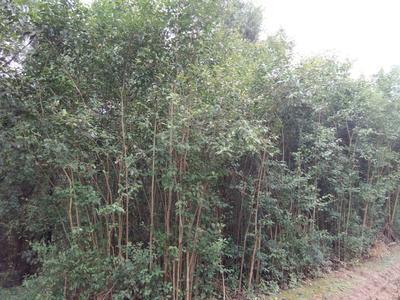 四川广元大叶白蜡树 1.5~2米